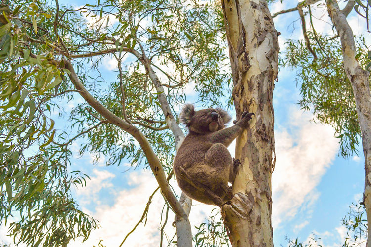 Low angle view of koala sitting on tree trunk against sky