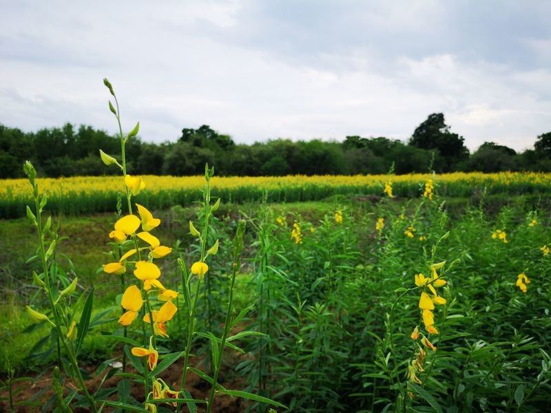 Yellow Flower Crotalaria Juncea Sunn Hemp Textured  Backgrounds Flower Tree Rural Scene Agriculture Flower Head Yellow Field Crop  Sky Close-up Full Frame