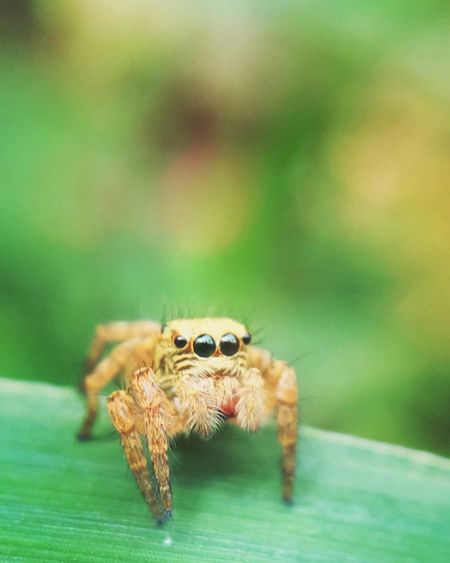 Aukey Aukeymacrolens Green EyeEm Gallery Animal Themes Animal Wildlife One Animal Animals In The Wild Animal Close-up Focus On Foreground Spider Invertebrate Jumping Spider Insect Arthropod No People Zoology Nature Selective Focus Green Color Outdoors Arachnid Day