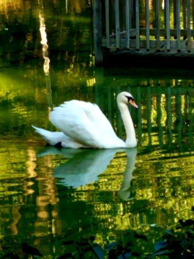 Swan Float