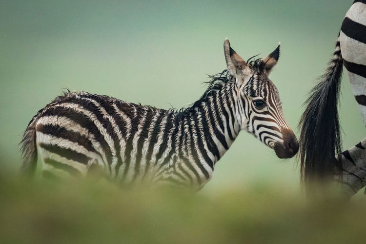 Close-up of zebra with foal in forest
