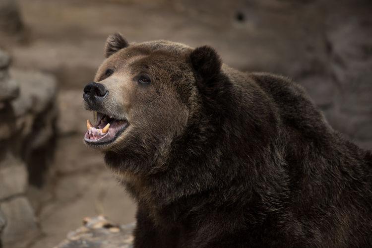 Bear Animal Head  Animal Photography Animal Teeth Animal Themes Animal Wildlife Wildlife Zoology