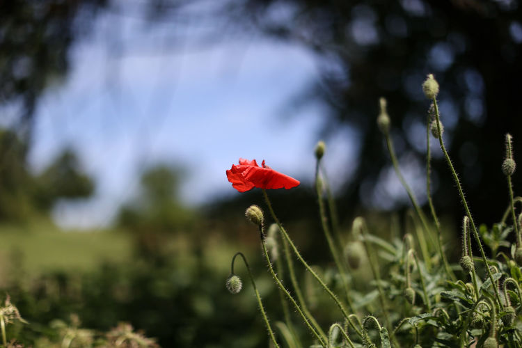 Corn poppy in the field Beauty In Nature Blume Corn Corn Poppy Corn Poppy Farm Flower Grass Klatschmohn Landscape Nature Outdoors Plant Red