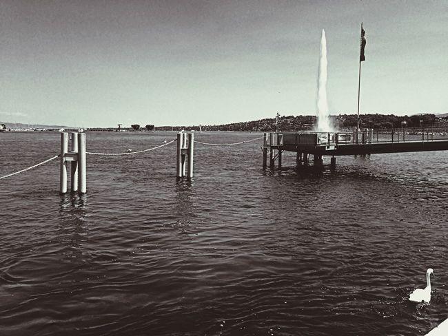 Geneva Blackandwhite Swan Lake Jetdeau Sympa Geneve Genf Swans Lakeside