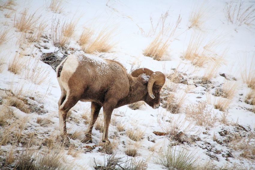 Big Horn Ram in snowy Yellowstone Big Horn Sheep EyeEm Selects Animal Themes Mammal Animal No People Nature One Animal Animal Wildlife Animals In The Wild Vertebrate Outdoors Day Motion Side View Full Length Winter Walking Land