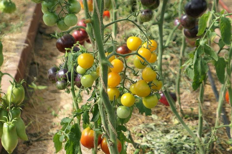 🍅😋 Tomato