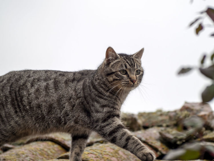 Animals In The Wild Architecture Walking Around Animal Themes Cat Cat Lovers Cats Close-up Day Domestic Animals Domestic Cat Environment Feline Focus On Foreground Looking At Camera Mammal No People One Animal Outdoors Pet Pets Portrait Rofftop Roof Tops Rural Scene Sitting Walking Whisker