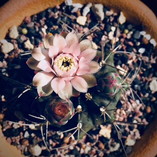 Pretty good Cactus Gymnocalycium Gymnocalycium Mihanovichii Cactus Flower Plant Flower Flowering Plant Freshness Growth High Angle View Beauty In Nature Nature