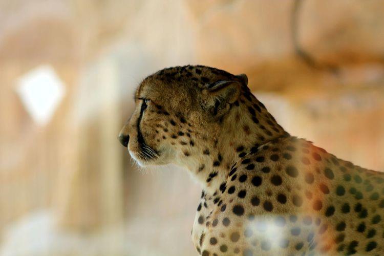 Close-Up Of Cheetah