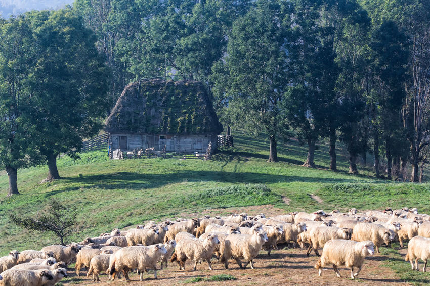 Grazing Hills Lamb Morning Sunny Animal Themes Countryside Domestic Farming Field Flock Of Sheep Grass Group Of Animals Herbivorous Herd Land Large Group Of Animals Livestock Mammal Meadow Old House Pasture, Paddock, Grassland, Pastureland Plant Sheep Tree