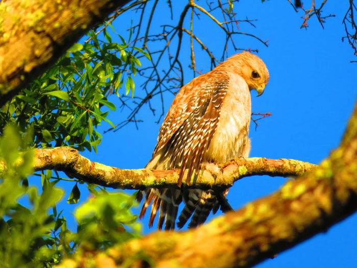 Wild hawk on branch in Florida Hawk Hawks Hawks Of Eyeem Bird Tree Perching Branch Bird Of Prey Blue Sky Animal Themes Close-up Hawk - Bird Tropical Bird Feather  Fanned Out