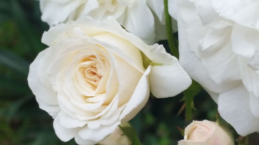 Flower Rose - Flower Petal White Color Plant Nature Close-up Day Beauty In Nature