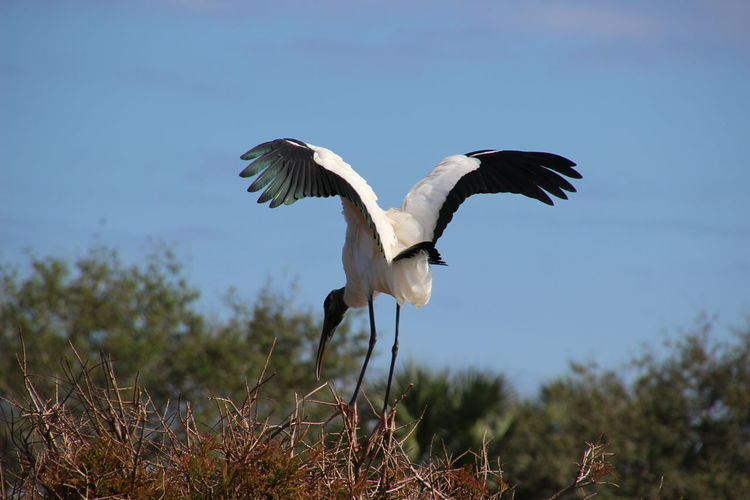 Animal Themes Animals In The Wild Bird Clear Sky Day Nature No People One Animal Outdoors Spread Wings Wood Stork
