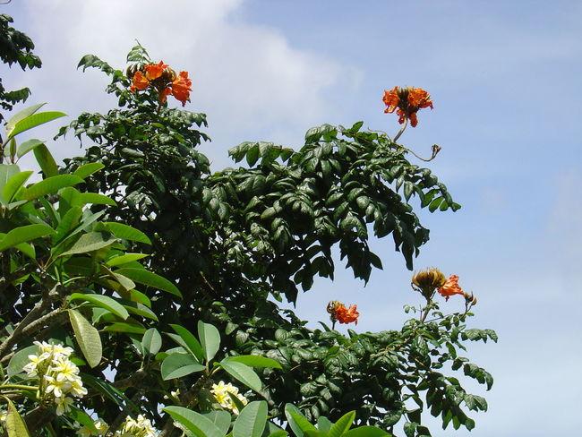 African Tulip Tree Afrikanischer Tulpenbaum Flower Leaf Madeira Nature No People Orange Blossom Outdoors Plant Tree
