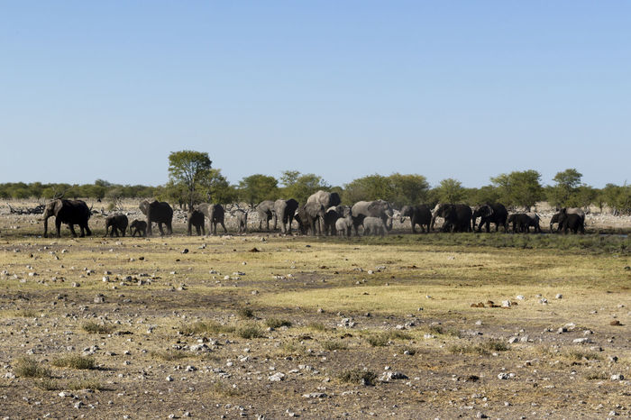 Namibia African Elephant Animal Themes Animal Wildlife Animals In The Wild Beauty In Nature Clear Sky Day Elephant Etosha Etosha National Park Grass Grazing Group Of Elephants Herd Landscape Large Group Of Animals Mammal Nature No People Outdoors Safari Animals Scenics Sky Tree