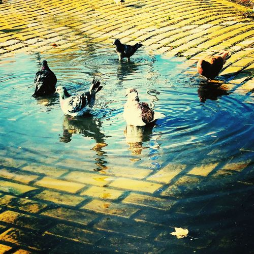 Pigeons Water