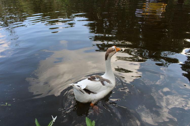 Duck in pool