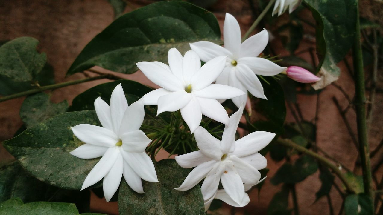 flower, white color, petal, nature, beauty in nature, growth, flower head, plant, freshness, fragility, no people, blooming, leaf, close-up, day, outdoors, periwinkle