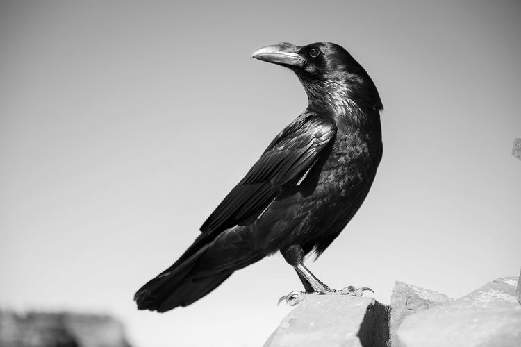Close-up of crow perching on rock against sky