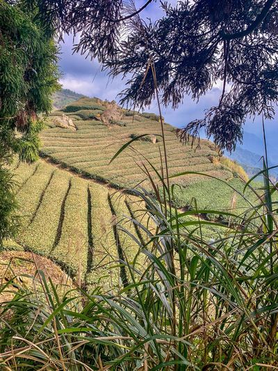 Taiwan Tea Plantation  Landscape Green Scenery ShotOnIphone Ali Mountain Panorama Plant Tree Nature Growth Sunlight Tranquility Beauty In Nature Sky High Angle View Shadow Scenics - Nature Tranquil Scene Outdoors Non-urban Scene Green Color Land Field No People Day Landscape