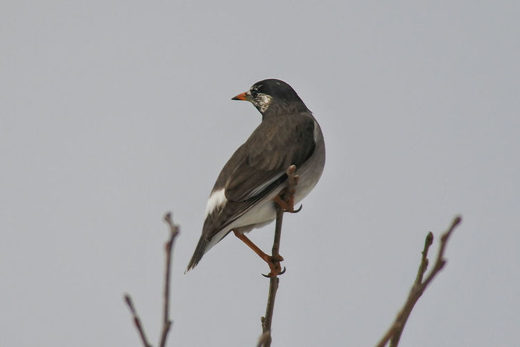 Close-up of bird perching against clear sky