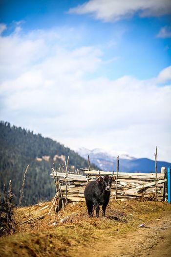Buffalo standing on field against sky