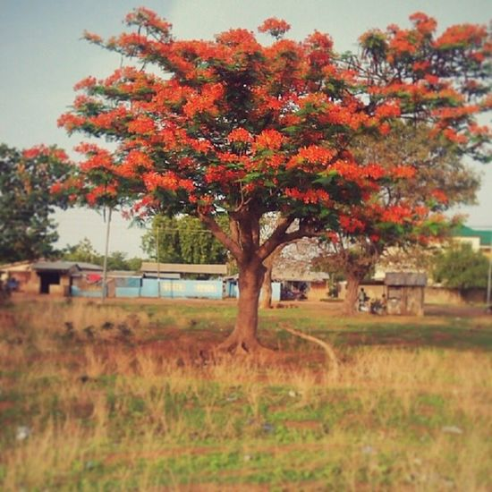 Navrongo do look beautiful when the rains start. See here how a delonix regia, flamboyantly displaying its flowers... NavrongoInsta Ghana360 Ghana We live in a beautiful world ..