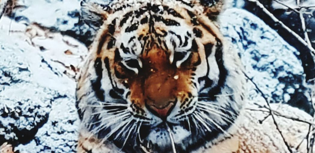 Close-up Tiger