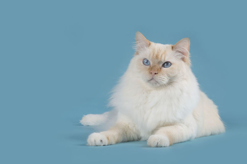 Ragdoll cat lying down with blue eyes looking away on a blue background Ragdoll Ragdoll Cat Rag Doll Cat Purebred Cat Lying Down Blue Eyes Blue Blue Background Looking Away Pets Domestic Studio Shot Domestic Cat Cat Feline Full Length Colored Background Animal Themes Animal