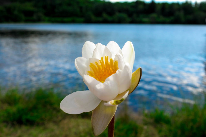Flowerpower🌸 Flowers,Plants & Garden Lily Beauty In Nature Blooming Flower Flower Head Flower Photography Flowers, Nature And Beauty Focus On Foreground Freshness Growth Lake Lily Flower Lotus Water Lily Nature No People Outdoors Plant Water Waterflower White Color