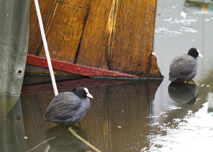 Coots in the harbour of Spakenburg Coot Bird Coots Harbour Harbour View Animal Animal Themes Animal Wildlife Animals In The Wild Bird Boats Boats And Water Close-up Day Group Of Animals Nature No People Outdoors Perching Port Reflection Spakenburg Two Animals Vertebrate Water Wood - Material