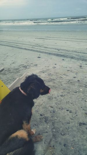 Bernese Mountain Dog Dogs On The Beach Dog Dogs Midlick Charleston South Carolina Folly Beach Ocean Beach Hanging Out Taking Photos Check This Out Dogs Of EyeEm Dogs Of Summer Dog Of The Day
