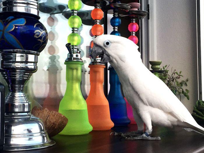 Shisha Animals Cacatua Cachimba  EyeEmNewHere Pet Portraits