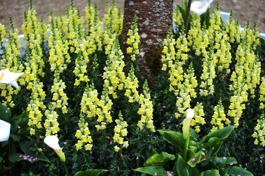 臺灣 恩愛農場 Taiwan Growth Nature Yellow Green Color Beauty In Nature Flower Plant Sunlight Outdoors Fragility No People Day Field Freshness Close-up Tree Agriculture