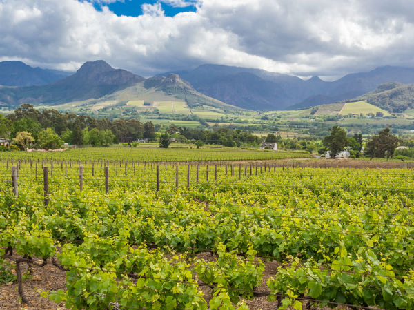 Vinyard Vineyard Wine Vine Grape Agriculture Franschhoek Western Cape South Africa Cape Town Agricultural Land Estate
