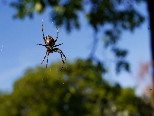 Spider Animal Animal Leg Animal Themes Animal Wildlife Animals In The Wild Arachnid Arthropod Blue Sky Close-up Day Focus On Foreground Insect Invertebrate Nature No People One Animal Outdoors Plant Selective Focus Sky Spider Spider Web Spiderweb Tree
