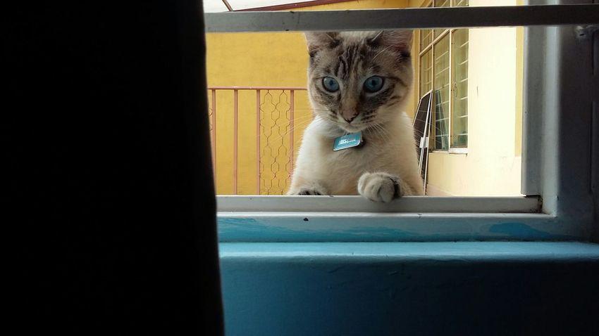 Taking Photos No Filter Beautiful Cat Animals Cute Pets Beautiful Day Blue Eyes Cats