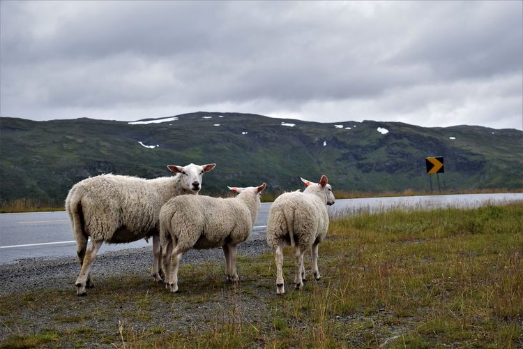Sheep on grass against sky