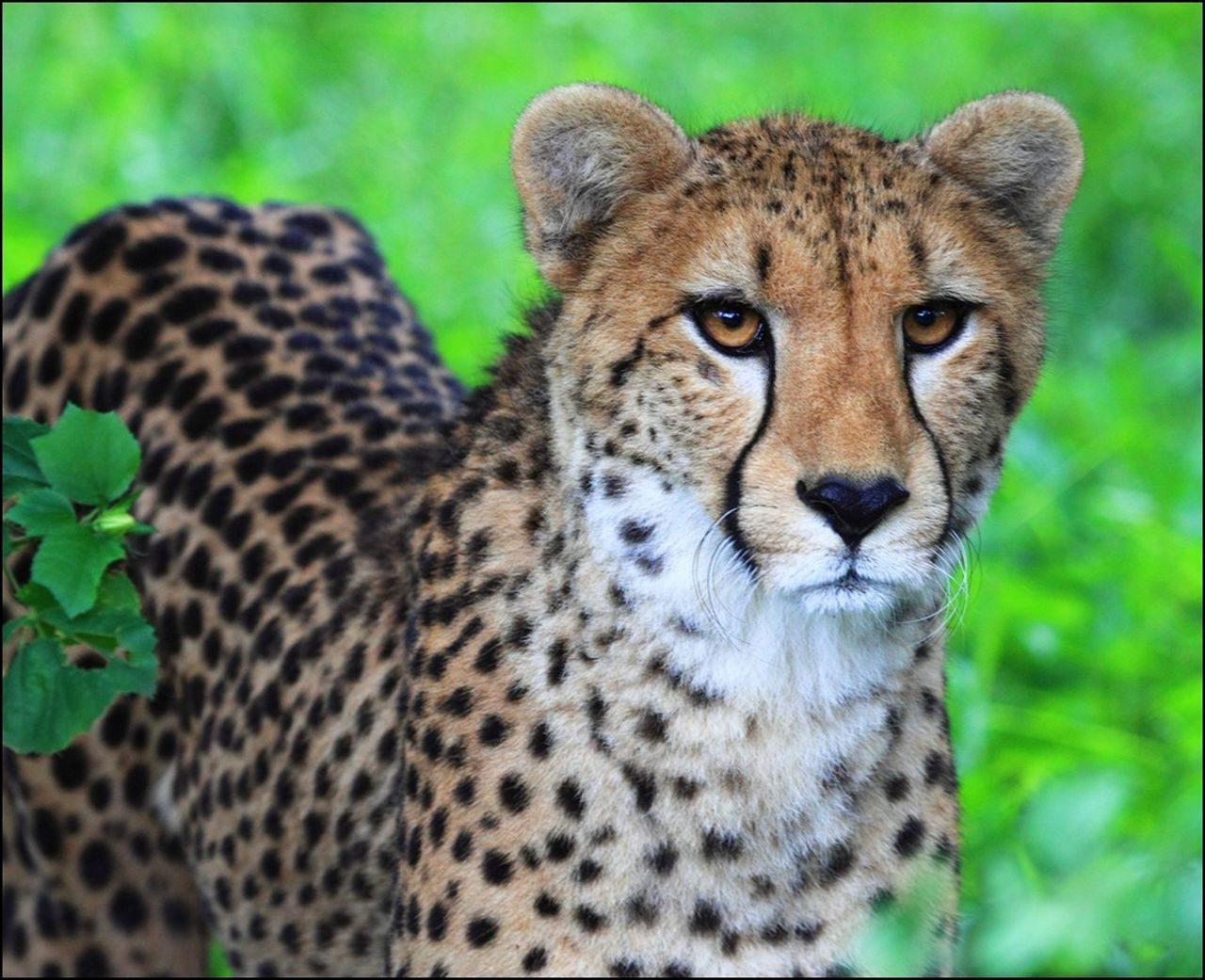 animals in the wild, animal wildlife, looking at camera, portrait, one animal, animal themes, focus on foreground, day, safari animals, outdoors, no people, cheetah, nature, close-up, mammal, leopard