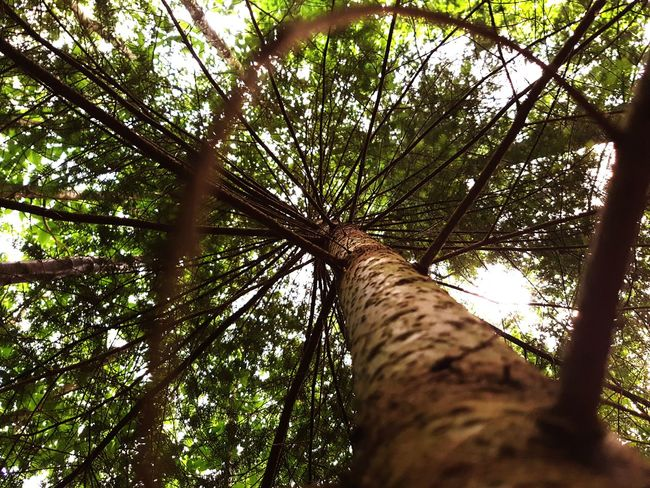 Tree Low Angle View Forest Nature Tree Trunk Day Growth Outdoors Branch No People Sky Perspectives On Nature