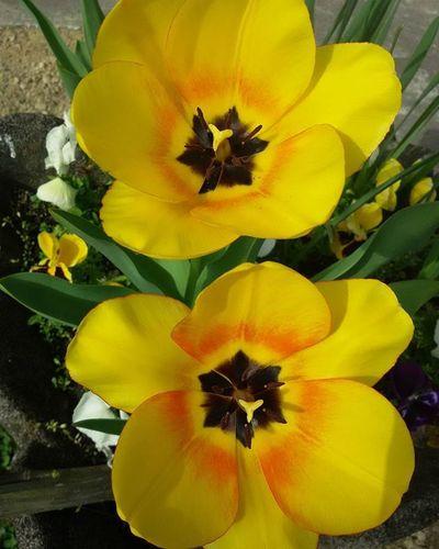 Tulipani Tulipanigialli Giallo Yellow Flowers Flower Yellowflower Guardino Garden Gardenflowers Spring2016 Primavera2016