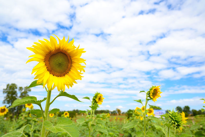 Close-up of yellow flowering plant on field against cloudy sky