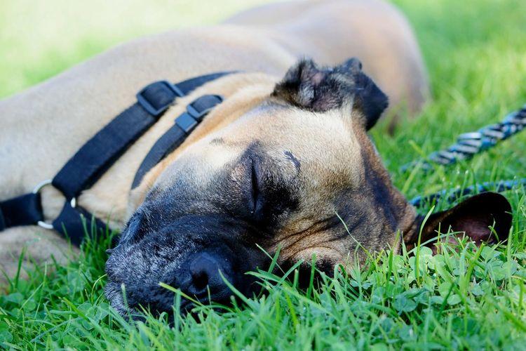 sleeping on the grass Dog Pet Nikon Nikonphotography Nikon D5200 Nikkor 55-300mm Bullmastiff No People Marche Lying Down Grass Close-up Sleeping Napping Ear Nose