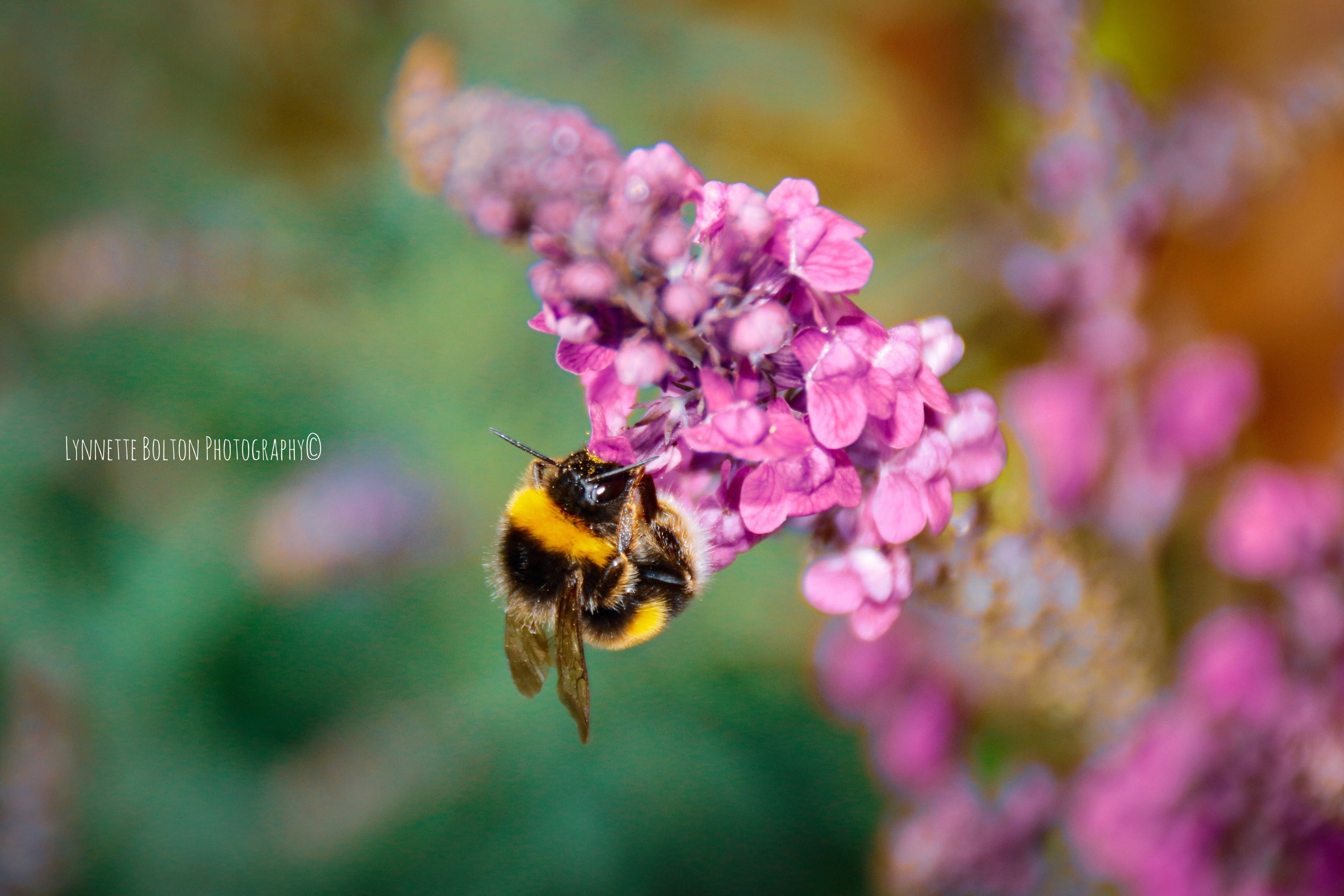 flower, flowering plant, invertebrate, animals in the wild, animal themes, one animal, animal, animal wildlife, insect, beauty in nature, fragility, plant, vulnerability, bee, petal, growth, close-up, flower head, freshness, focus on foreground, pollination, pink color, no people, bumblebee, outdoors, purple