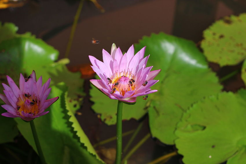Beauty In Nature Bees And Flowers Blooming Blossom Close-up Day Flower Freshness Growth In Bloom Leaf Lotus Water Lily Nature Outdoors Petal Pink Color Plant Pollen Pollination Purple Water Lily ดอกบัว ผสมเกสร ผึ้ง