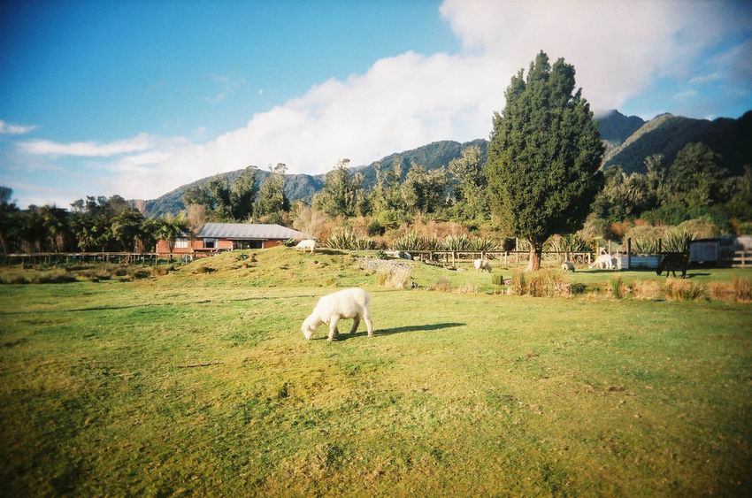 Film SuperHeadz Animal Themes Beauty In Nature Cloud - Sky Day Domestic Animals Farm Animal Field Grass Grazing Landscape Livestock Mammal Mountain Nature New Zealand No People Outdoors Pasture Scenery Scenics Sheep Sky Tree