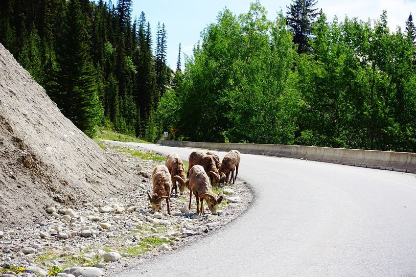 just eating Alberta Canada Road Tripping Abventure Travel Goats On The Road Peaceful Eating Wildlife Animals Nature