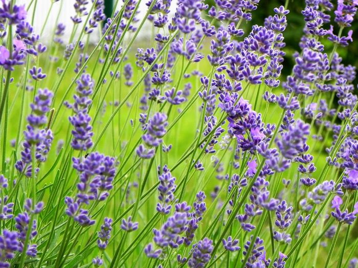 Backgrounds Beauty In Nature Blooming Botany Close-up Day Flower Flower Head Fragility Freshness Full Frame Garden Photography Green Color Growth I Love Lavender Lavender In My Garden Nature No People Out Outdoors Plant Purple