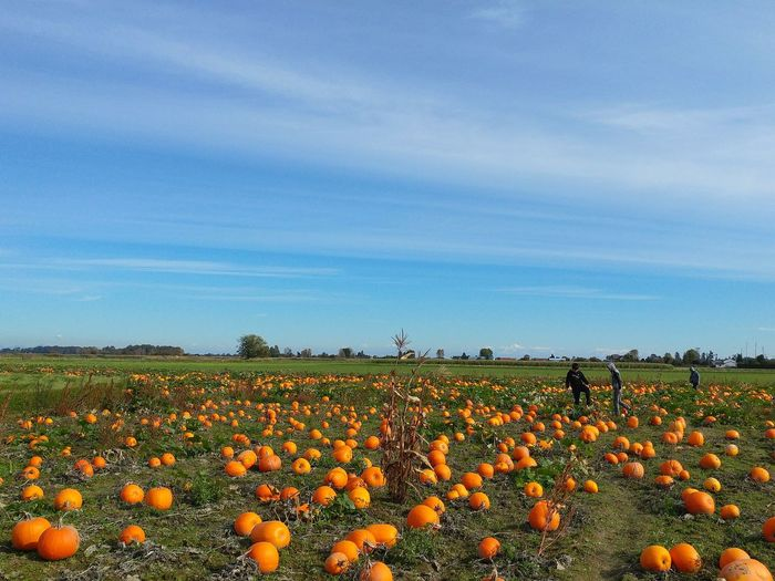pumpkin field - Halloween Halloween Blue Cloud - Sky Couds And Sky Green Color Vancouver Group Of Objects Canada Fall Fall Colors Autumn Autumn colors Harvest Harvesting Flower Flower Head Rural Scene Agriculture Field Horticulture Crop  Blue Tree Sky Cultivated Land Agricultural Field Farm Farmland