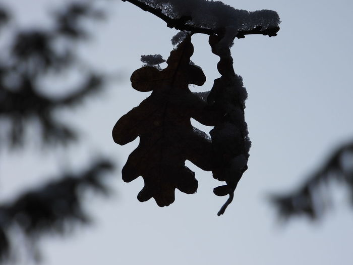 Close-up of snow on tree branch against sky